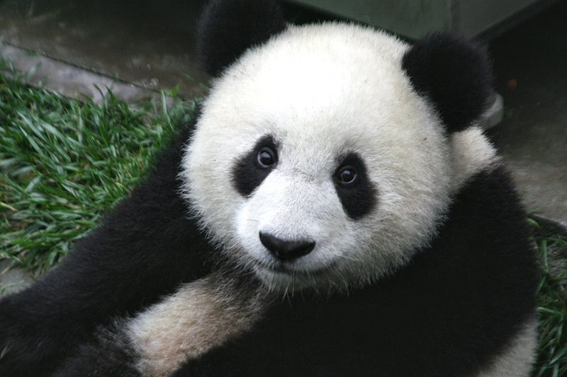 800px-Panda_Cub_from_Wolong,_Sichuan,_China